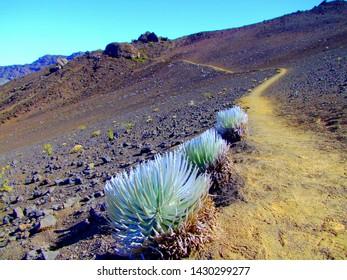 Endangered Haleakala Silversword on the Haleakala Crater in Maui, Hawaii.