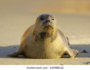 Endangered Harbor Seal on beach in morning light in La Jolla California