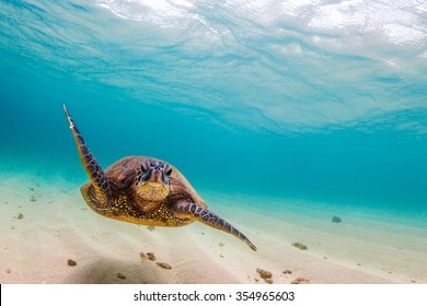Endangered Hawaiian Green Sea Turtle cruising in the warm waters of the Pacific Ocean on Oahu's North Shore, Hawaii.