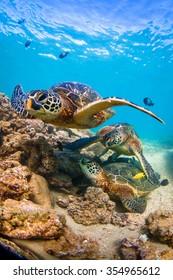 Endangered Hawaiian Green Sea Turtle cruising in the warm waters of the Pacific Ocean on Oahu's North Shore, Hawaii.