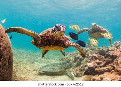 An endangered Hawaiian Green Sea Turtle cruises in the warm waters of the Pacific Ocean in Hawaii.