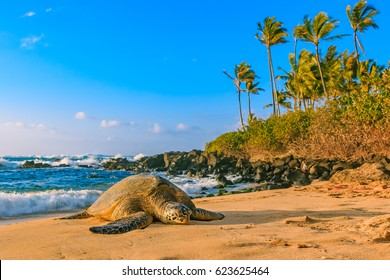Endangered Hawaiian Green Sea Turtle resting on the sandy beach at North Shore, Oahu, Hawaii with palm trees and the ocean in the background