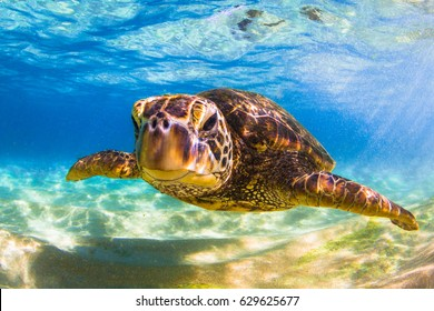 Endangered Hawaiian Green Sea Turtle
