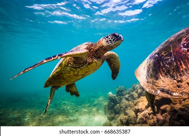 An endangered Hawaiian Green Sea Turtle swimming in the warm waters of the Pacific Ocean in Hawaii