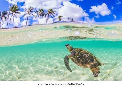 An endangered Hawaiian Green Sea Turtle swimming in the warm waters of the Pacific Ocean in Hawaii