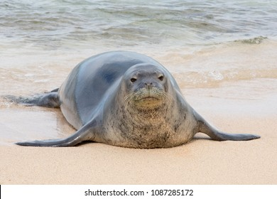 An endangered Hawaiian monk seal on a beach in Kauai, Hawaii