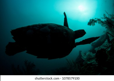 An endangered Hawksbill sea turtle swims over a reef in Raja Ampat. This tropical region is known as the heart of the Coral Triangle due to its marine biodiversity.