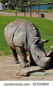 Endangered horned white rhinoceros from Africa