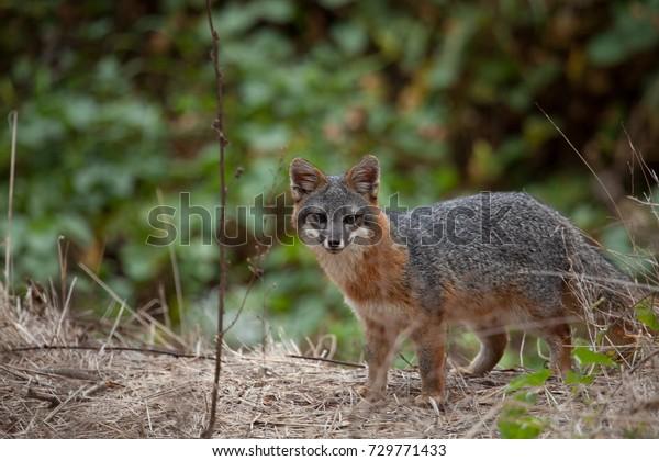 an endangered Island Fox from channel islands national park.