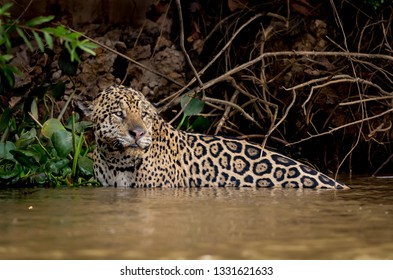 Endangered jaguar in shallow water of the river