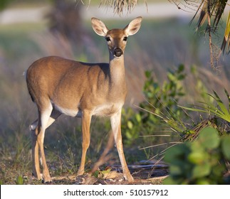 Endangered Key Deer standing on limestone base with palm and palmetto trees