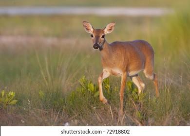 Endangered Key Deer walking in high grass in Florida Keys