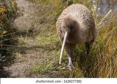 Endangered kiwi bird during day time