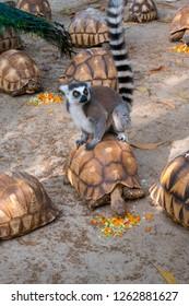 Endangered Lemur in captivity