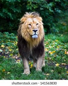 Endangered Male Indian Lion