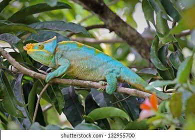 ENDANGERED male Parson's Chameleon (Calumma parsonii) in a tree in Ranomafana, Madagascar. The largest chameleon species in the world. IUCN lists as Near Threatened. Big, beautiful, and colorful.