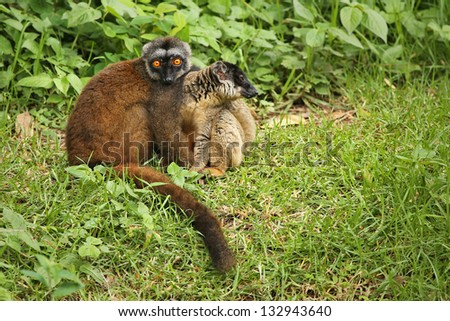 Endangered Mongoose Lemurs (Eulemur mongoz). Male and female watch with bright, orange eyes in vegetation in Madagascar. Rain forest and grass edge habitat.