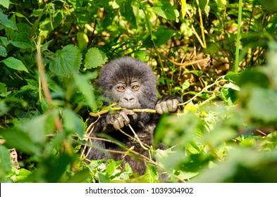 Endangered Mountain Gorilla baby from the Agashya family, Volcanoes National Park, Rwanda