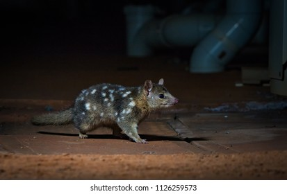 Endangered Northern quoll in a semi-urban environment in Port Hedland Western Australia, Pilbara