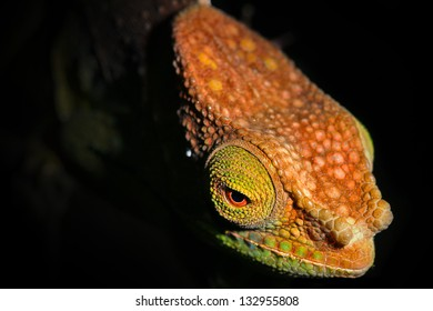 ENDANGERED O'Shaughnessy's Chameleon (Calumma oshaughnessyi) in the Ranomafana Rain Forests of Madagascar. Listed as Vulnerable by the IUCN.  Leaves, branch, forest, foliage, tree, rain.