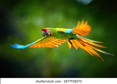 Endangered parrot, Great green macaw, Ara ambigua guayaquilensis in flight. Green-yellow, wild tropical rain forest parrot, flying with outstretched wings against blurred background. Costa Rica.