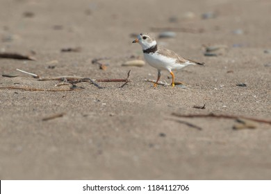 An endangered Piping Plover, keeping a wary eye out for danger. Hanlan's Point, Toronto, Ontario, Canada.