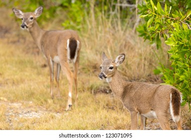 Endangered and rare Key deer fawn in woods in Big Pine Key on Florida Keys