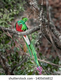 Endangered and rare Quetzal facing forward showing bright red ch