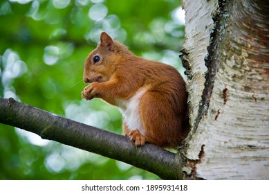 The endangered and rare Scottish red Squirrel
