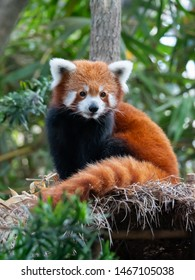 Endangered Red Panda in Captivity