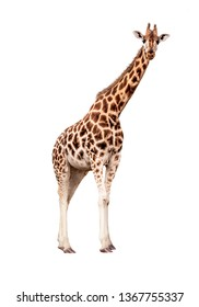 Endangered Rothschild's giraffe standing side looking forward. Extracted from natural surroundings and isolated on white.