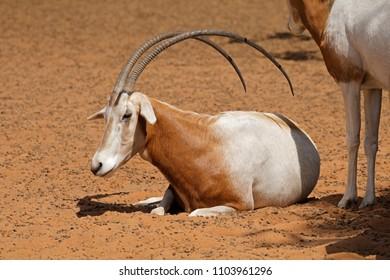 An endangered scimitar-horned oryx (Oryx dammah), North Africa