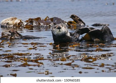 Endangered Sea Otters (Enhydra lutris) in Pacific Ocean (California). Many Otters are seen floating in the safety of the sea kelp.  California, USA.