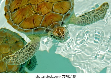 Endangered sea turtle rising to breathe in Cozumel Mexico.