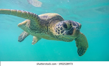 An endangered sea turtle in turquoise blue clear waters of Hawaii