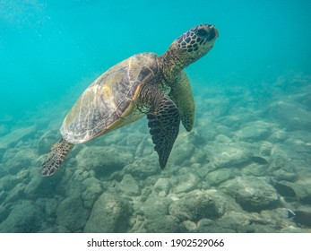 An endangered sea turtle in turquoise blue clear waters of Hawaii swims across the stony seabed