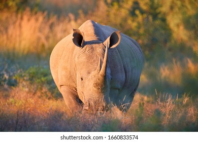 Endangered Southern white rhinoceros, Ceratotherium simum, looking at camera, direct view, lit by warm colorful sun. African animal scenery. Traveling Pilanesberg national park, South Africa.