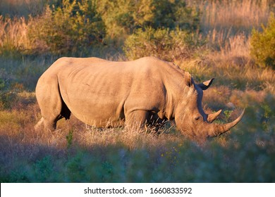 Endangered Southern white rhinoceros, Ceratotherium simum, grazing on savana, side view, lit by colorful warm light. African animal scenery. Traveling Pilanesberg national park, South Africa.