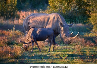 Endangered Southern white rhinoceros, Ceratotherium simum, on savanna with wildebeest, lit by colorful setting sun. Traveling Pilanesberg national park, South Africa.
