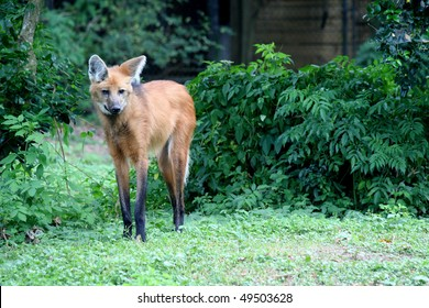 Endangered Species, Maned Wolf, threatened with extinction due to loss of habitat.