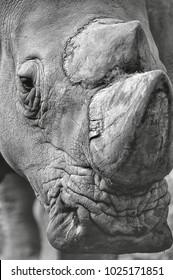 Endangered species. A rhino portrait in monochrome.