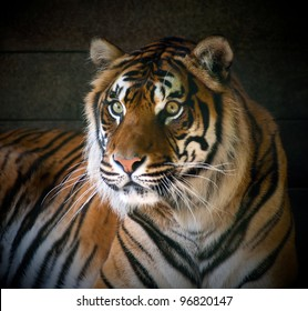 Endangered Sumatran Tiger on a Black Background