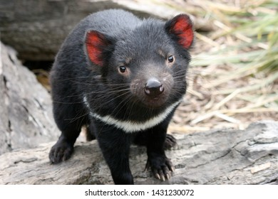 Endangered Tasmanian Devil, Standing on a Log