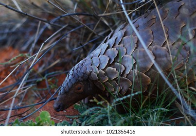 An endangered Temminck's Pangolin