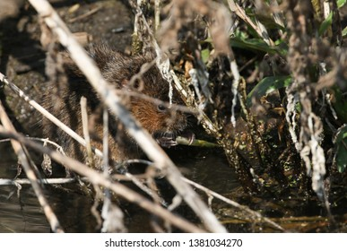 An endangered Water Vole, Arvicola amphibius, feeding at the edge of a stream. The water vole is under serious threat from habitat loss and predation by the non-native mink.