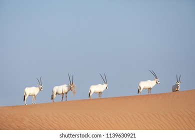 Endangered white arabian oryx (Oryx leucoryx) in Dubai Desert Conservation Reserve desert landscape, United Arab Emirates.