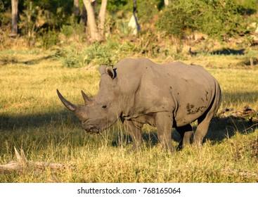 Endangered white rhino in Botswana
