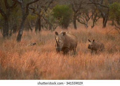 Endangered White rhinoceros, Ceratotherium simum, mother with fresh born calf in typical environment of dry savanna with distant trees in background, lit by colorful evening sun. KwaZulu Natal, SA.