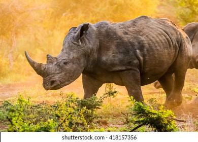 Endangered white rhinoceros walking in dust at sunrise