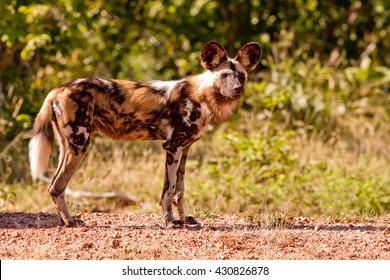 Endangered wild African wild dog
